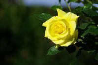 ~山下公園薔薇など1 - 生きる。撮る。