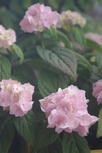 ピンクの小手毬 - お散歩日和ときどきお昼寝