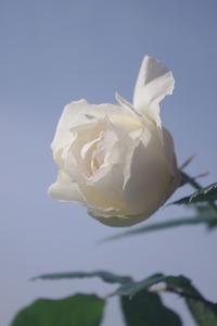 今朝のバラ(5/8) - お散歩日和ときどきお昼寝