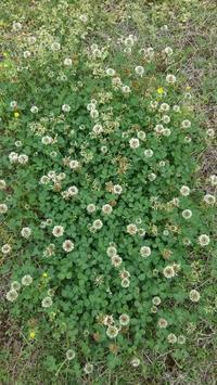 四つ葉のクローバー - うちの庭の備忘録 green's garden