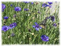 蝶日和 - マリカの野草画帖
