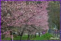 本別公園のエゾヤマザクラが満開に! - ・・・北海道・十勝の野鳥と自然・・・