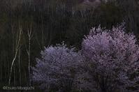 GWは桜が見ごろに - ekkoの --- four seasons --- 北海道