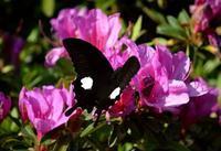 モンキアゲハ5月5日 - 超蝶