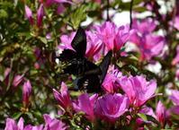 黒系アゲハ達5月5日 - 超蝶