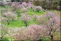 「梅の滴」平岡梅林公園 - 北海道photo一撮り旅