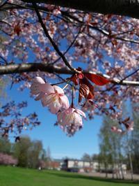 フィンランドの桜だより - 家暮らしノート