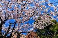 桜咲く京都2019冷泉家の桜と御所の山桜 - 花景色-K.W.C. PhotoBlog