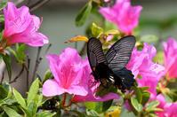 公園の蝶ナガサキアゲハ - 蝶と自然の物語