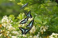 奇跡の写真・・・アオスジアゲハ・・・偶然に撮影出来た - 蝶と自然の物語
