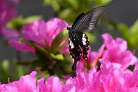 公園の蝶・・モンキアゲハ - 蝶と自然の物語