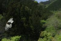 2019.5.2東京・高尾山麓ウスバシロチョウ2019.5.8 (記) - たかがヤマト、されどヤマト