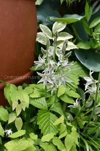 オーニソガラム ・ヌータンスとシラー・カンパニュラータの花 - 小さな庭 2