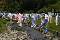 GW最終日、鯉のぼりと高月院の菖蒲 - Turfに魅せられて・・・(写真紀行)