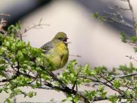 囀り - Bird Healing