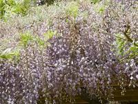 長く垂れ下がったフジの花 - 花と葉っぱ