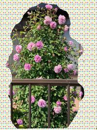 庭の薔薇 [2019/05/07] - 春&ナナと庭の薔薇