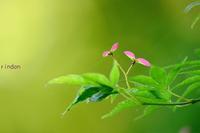 イロハモミジの種 - 旅のかほり