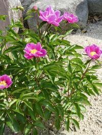 芍薬(しゃくやく)が咲いています。 - ミモザアカシアの日々