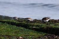 浜鷸(ハマシギ) - いい男の「歩々是道場」