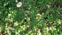 ハルジオン(たぶん) - うちの庭の備忘録 green's garden