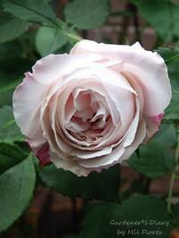 1ra Rosa 2019 - Gardener*s Diary