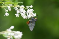 アオバセセリ(2019/05/04) - Sky Palace -butterfly garden- II