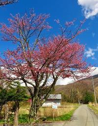 乗鞍高原のサクラの花が咲き出しました~。 - 乗鞍高原カフェ&バー スプリングバンクの日記②