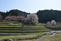 又兵衛桜~樹齢300年超の伝説の枝垂れ桜~ - 坂の上のサインボード