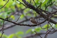 4/29やはり雨の中の鳥見は楽しい(5/8記) - ゆるるばってん沈まんばい的生活 in 対馬