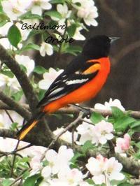食卓の窓から 珍しい野鳥スカーレットタナジャ、ボルチモアムクドリモドキ他 - NYからこんにちは