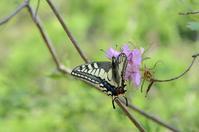 春先のキアゲハ - 堺のチョウ