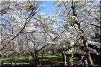 桜を物干し竿で撮る - 北海道photo一撮り旅