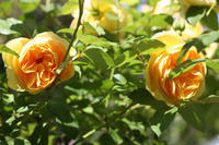 我が家の庭でバラが満開です - フェルタート(R)・オフフープ(R)立体刺繍作家PieniSieniのブログ