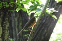 アカハラ、ガビチョウ他@生田緑地公園 - 青爺の野鳥日記