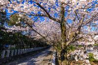 桜咲く京都2019咲き誇る参道(向日神社) - 花景色-K.W.C. PhotoBlog