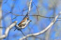 沼の春の訪れ・・・アリスイ。 - 野鳥のさえずり、山犬のぼやき