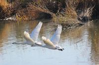 邑智型の白鳥1 - SWAN