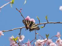 サクラ吸蜜のヒメギフ - 蝶超天国