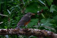 カラアカハラ - ごっちの鳥日記