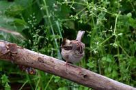 ミヤマホオジロ - ごっちの鳥日記