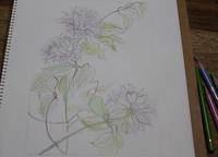 クレマチス - 絵と庭