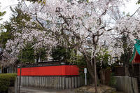 桜2019!~車崎神社~ - Prado Photography!