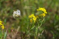 初めましての蝶々さん -ツマキチョウ女子- - It's only photo 2