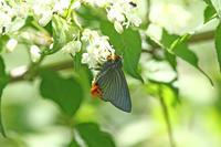 アオバセセリ裏高尾を散策 - 蝶のいる風景blog