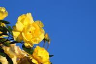 薔薇の季節 - 風見鶏日記