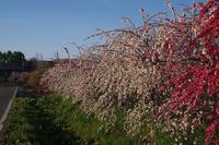花が咲く風景枝垂れ桃 - 空 -Sora-