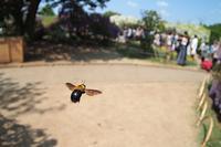 花よりクマバチ(1)・・・魚眼で接近戦!♪・・・足利フラワーパークの藤は最盛期だったけど - 『私のデジタル写真眼』