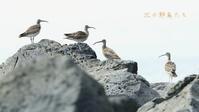 チュウシャクシギ - 北の野鳥たち