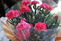 ■母の日プレゼント【カーネーションの鉢植えが届きました^^】 - 「料理と趣味の部屋」